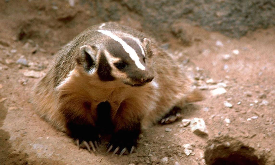 Wisconsin State Animal is the Badger.