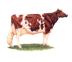 The Wisconsin State domesticated animal is the dairy cow.